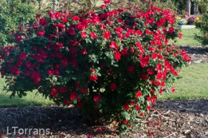 Home_Run_Red_Shrub_Rose_Texas_Dallas_April-2