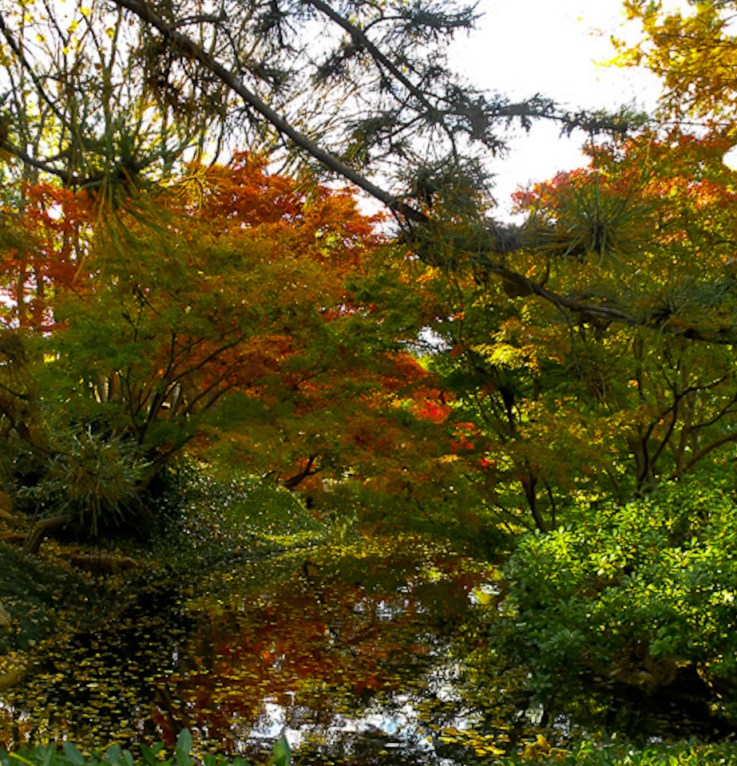 Japanese_Maple-7