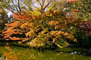 Japanese_Maple_Texas-2
