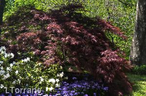 Purple Phlox Texas Spring Perennial