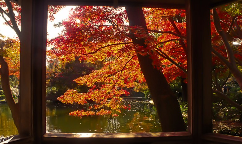 Japanese_Maples_2011-3