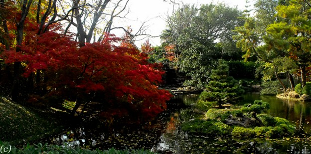 Japanese_Maples_2011-5