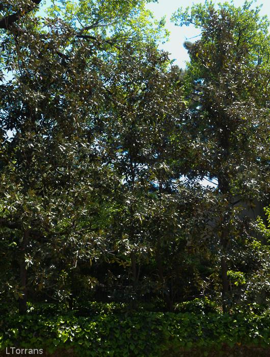 Little Gem Tall Narrow Magnolia Tree