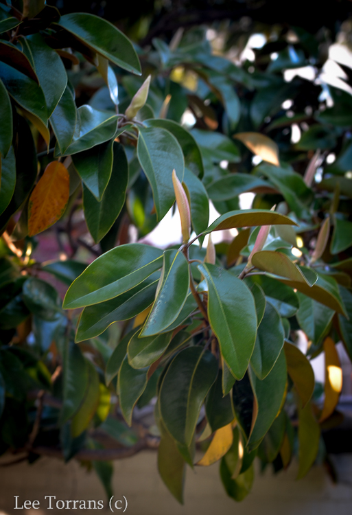 Magnolia_Tree_Bud_Dallas_Lee_Ann_Torrans