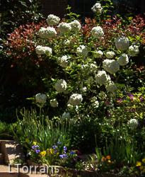Snowball Viburnum Flowering Texas Shrub
