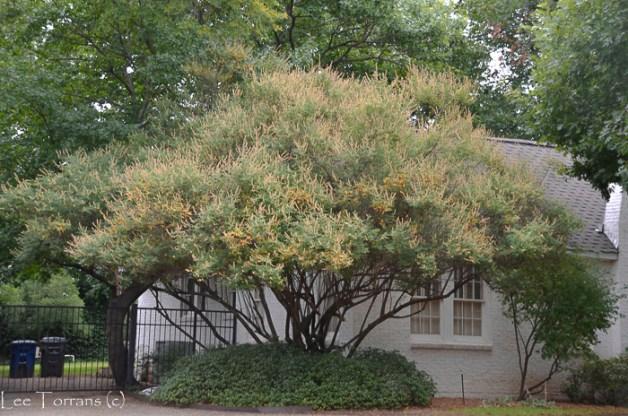 Yellow Vitex Tree