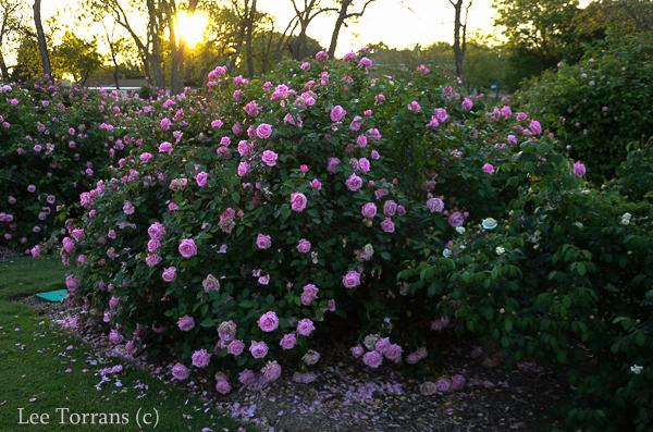 Belinda's Dream Texas Shrub Rose