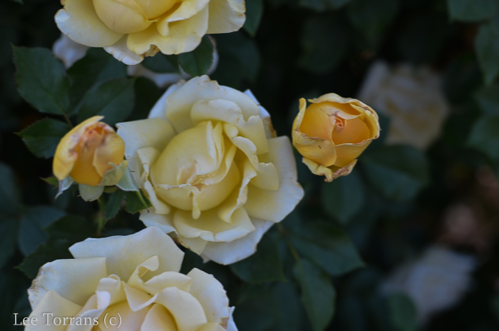 Centennial_Grandiflora_Yellow_Rose_Texas_Lee_Ann_Torrans-3