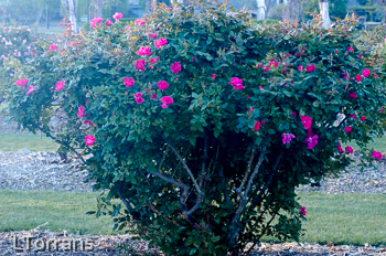 Knockout Shrub Rose for Texas