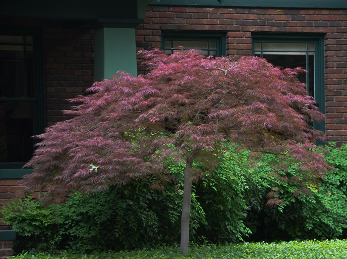 The Crimson Queen is the most popular lace leaf Japanese Maple. This one is surrounded by a hedge of nandinas, creating a stunning contrast. Both have branching that tapers downward in a splay of leaves.