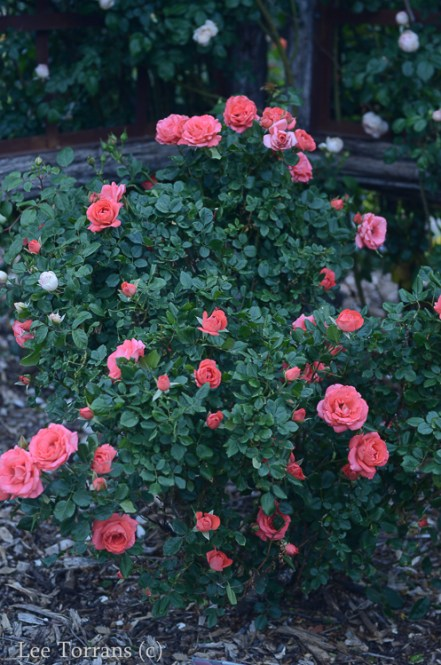 Marmelade Skies Hybrid Tea Rose for Texas