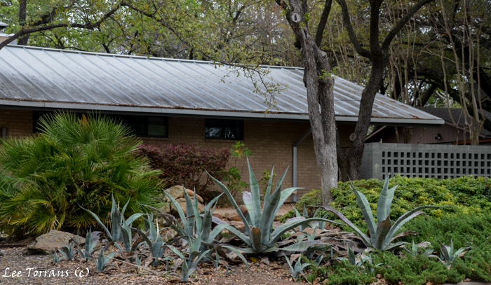 Agave plants reproduce with abandon. This is a great example!