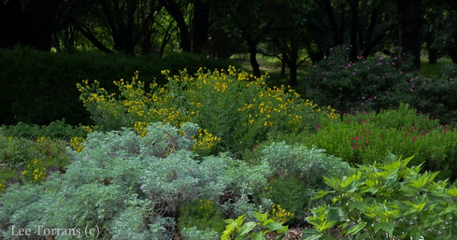 Gray artemesia in the foreground, yellow Englishman's daisy and Scarlett Salvia Greggii to the right. All April blooming Texas perennials.