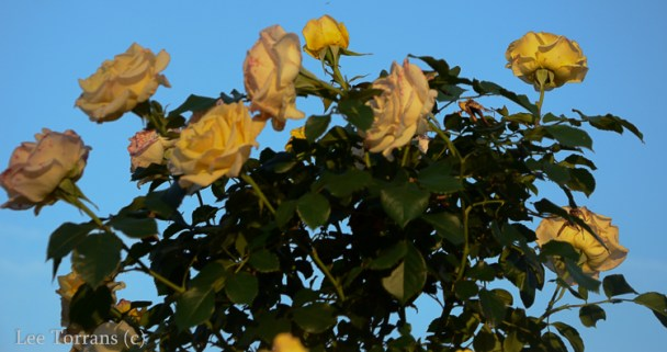 Centennial a Texas Grandiflora Yellow Rose