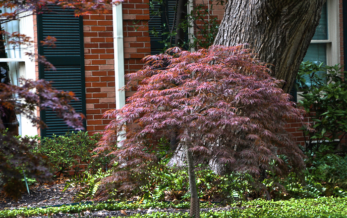 Emperor One, Shaina Japanese Maple and Enkan Japanese Maples have the lacy leaf structure of the Crimson Queen but are tree like in shape. Emperor One grows 15 to 20 feet tall. Shaina Japanese Maple grows 7 to 8 feet and Enkan Japanese Maples reaches 8 to 10 feet.