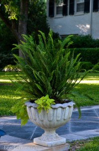 Emerald Queen - Australian Sword Fern - Classic Urn Fern Combination