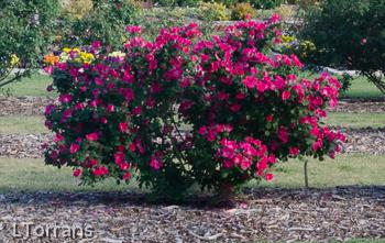 Home Run Shrub Rose For Texas Lee Ann Torrans Gardening
