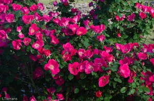 Home_Run_Red_Shrub_Rose_Texas_Dallas_April-3