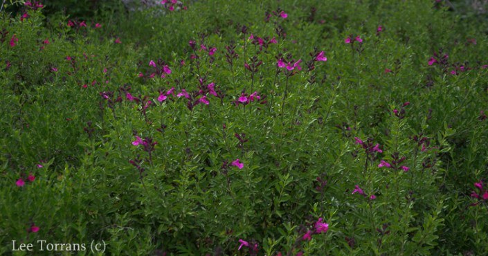 Hot_Pink_Autumn_Sage_Salvia_Greggi_Perennial_Texas_Lee_Ann_Torrans-4