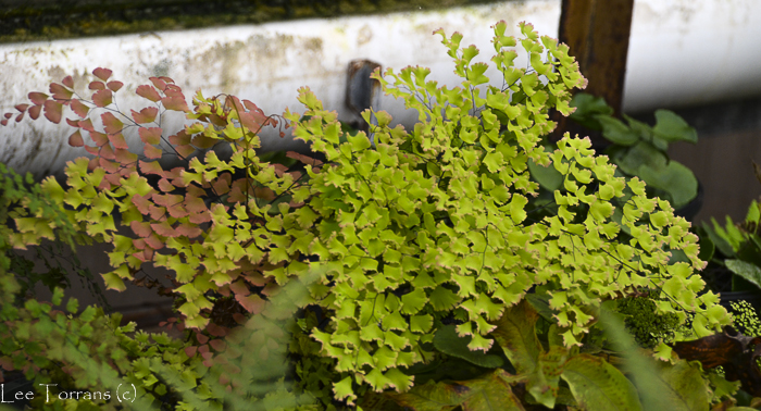 Low growing maidenhair fern