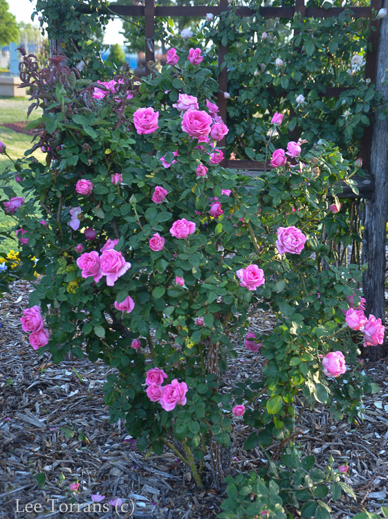 McCartney Hybrid Tea Rose for Texas