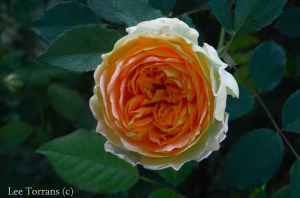 Molineux_Shrub_Rose_Texas_Lee_Ann_Torrans-3