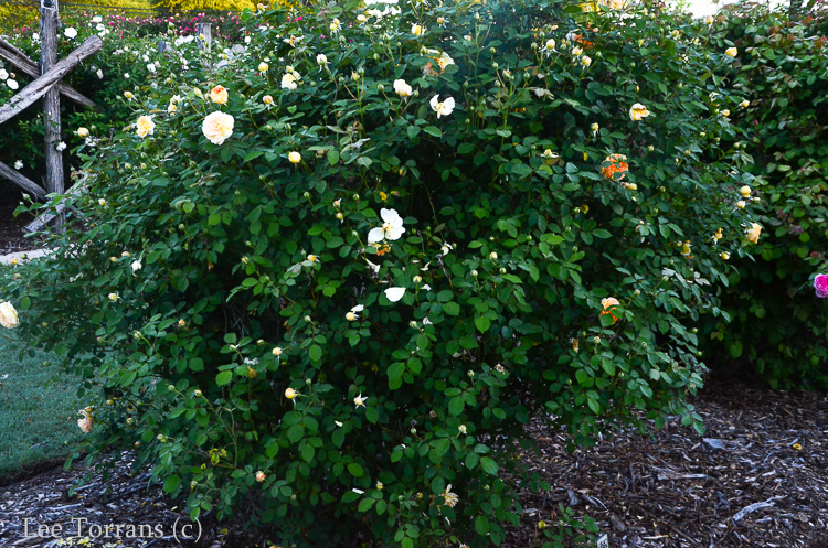 Molineaux Shrub Rose for Texas