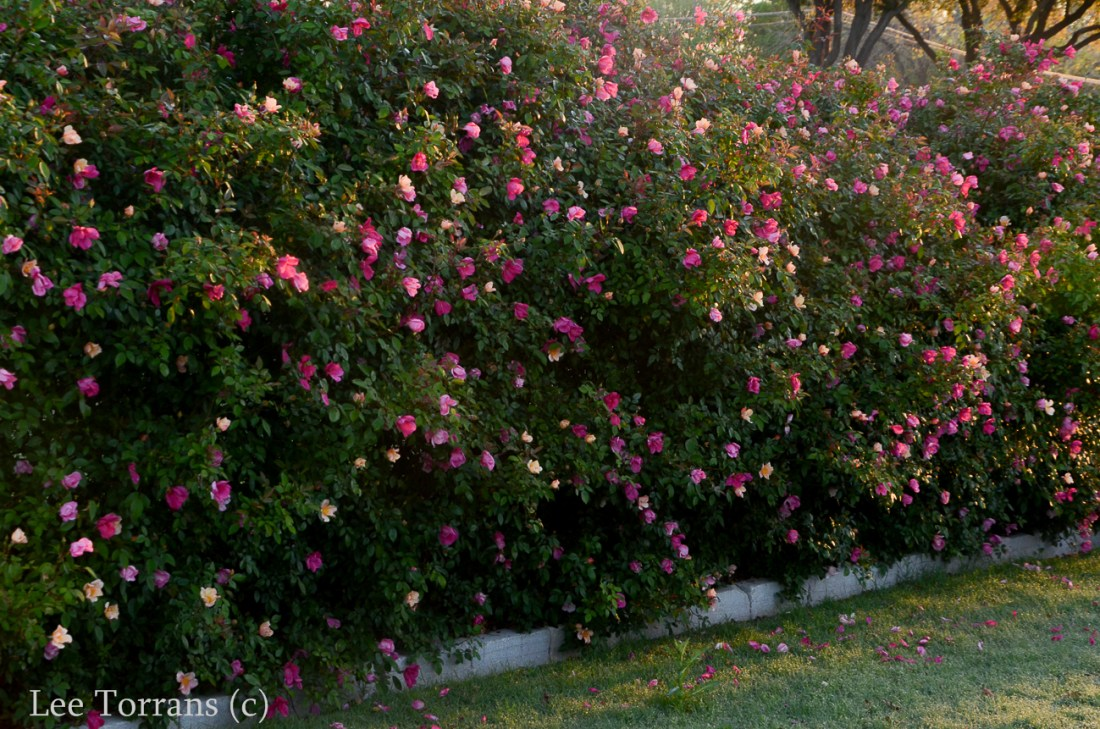 Mutabilis Antique Rose