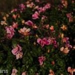 Mutabilis_Shrub_Rose_Texas_Dallas_April