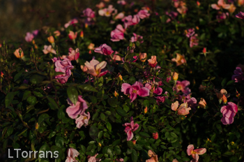 Mutabilis_Shrub_Rose_Texas_Dallas_April