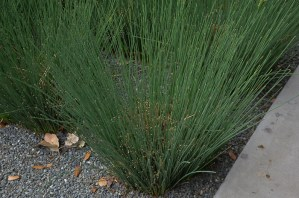 Texas Ornamental Grasses