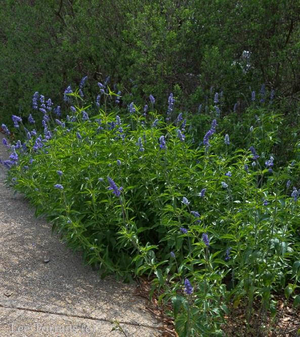 Blue Salvia Texas Perennila