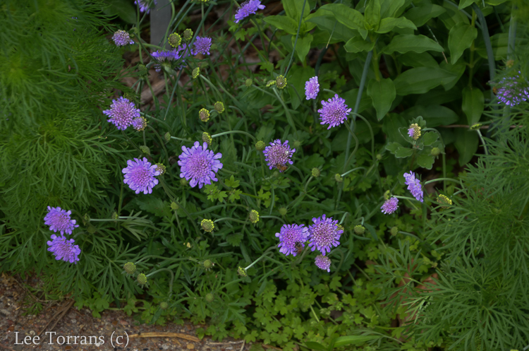 Purple Pin Cushion Texas Perennial Scabiosa
