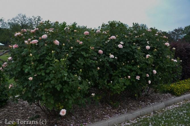 Quietness_Pale_Pink_Rose_Texas_Lee_Ann_Torrans