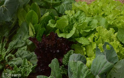 Mixed lettuce in a Texas Garden