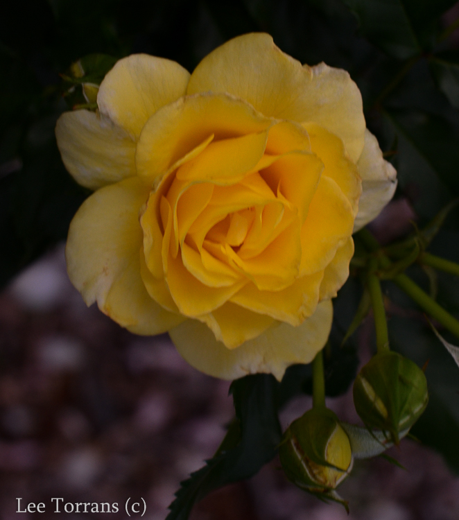 Sun_Flare_Floribunda_Rose_Garden_Dallas_Texas_Lee_Ann_Torrans-4