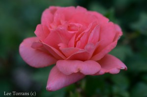 Sweet Fragrance Shrub Rose