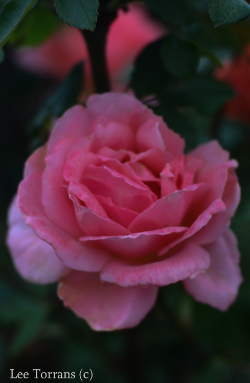 Sweet Fragrance Texas Shrub Rose