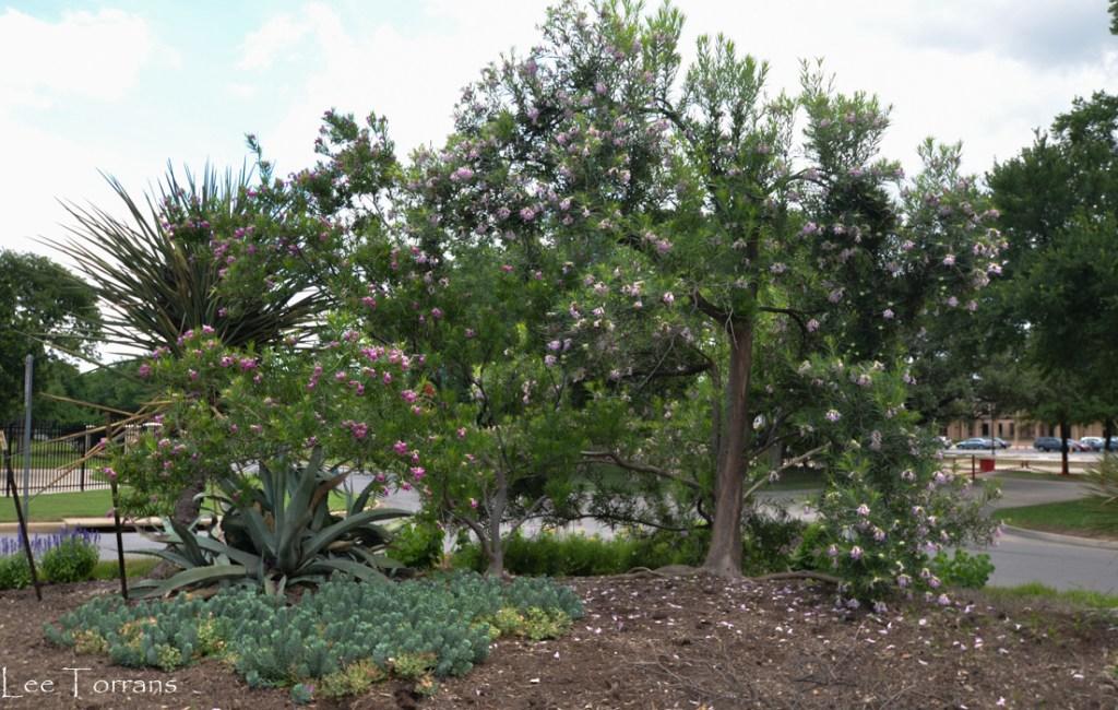 Desert Willow - Poison Tree