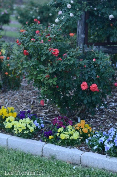 Tropicana Hybrid Tea Rose Peach Colored