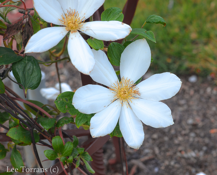White Clematis for Texas