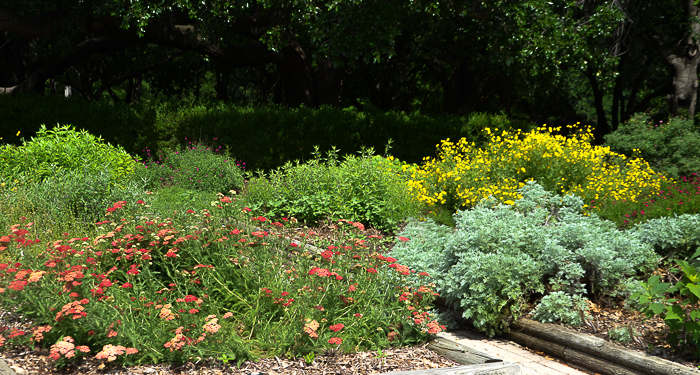 Yarrow, Artemesia, Englishman's Daisy Mid-May Blooms