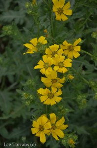 Yellow_Daisy_Perennial_Texas_Lee_Ann_Torrans-3