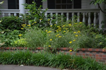 Yellow Artemesia - Dallas Landscaping and Gardening Lee Ann Torrans