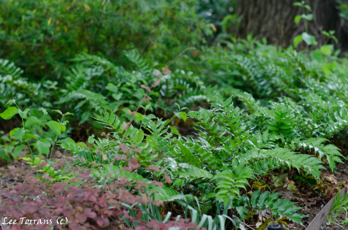 Holly fern in the Texas landscape design