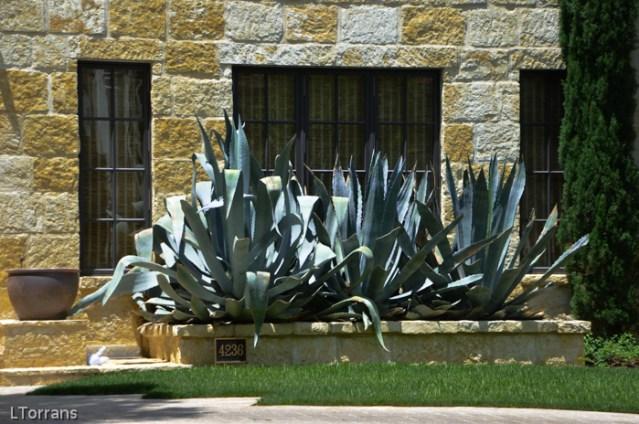 Cactus_Landscape_Design_Texas_Lee_Ann_Torrans