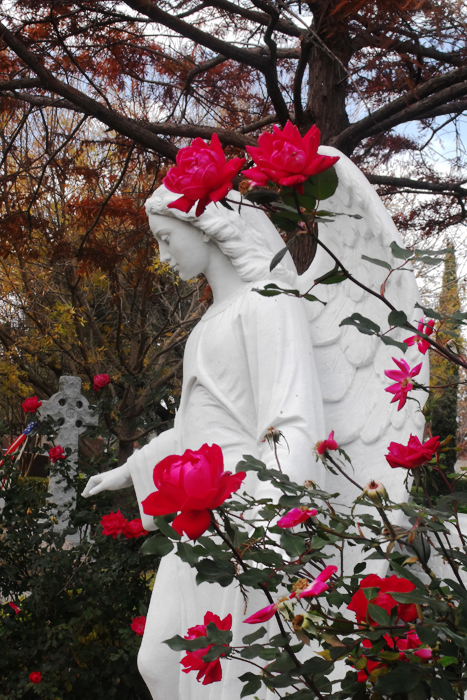 Cemetery Plantings - Double Knockout Shrub Rose