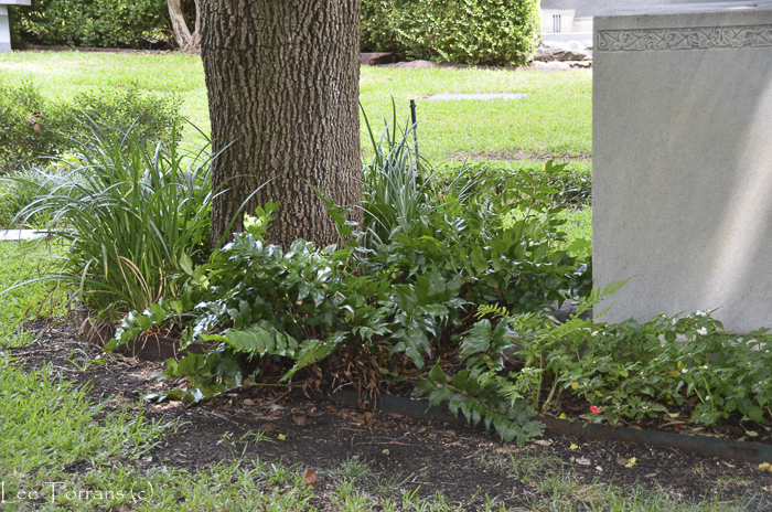 Holly fern in a cemetery.