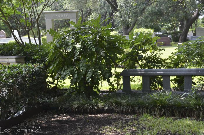 Mahonia in a cemetery.