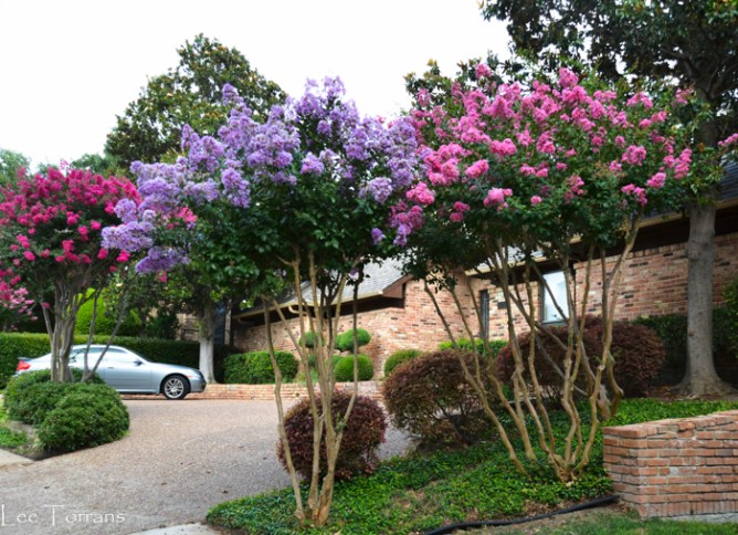 Crape Myrtles in Texas